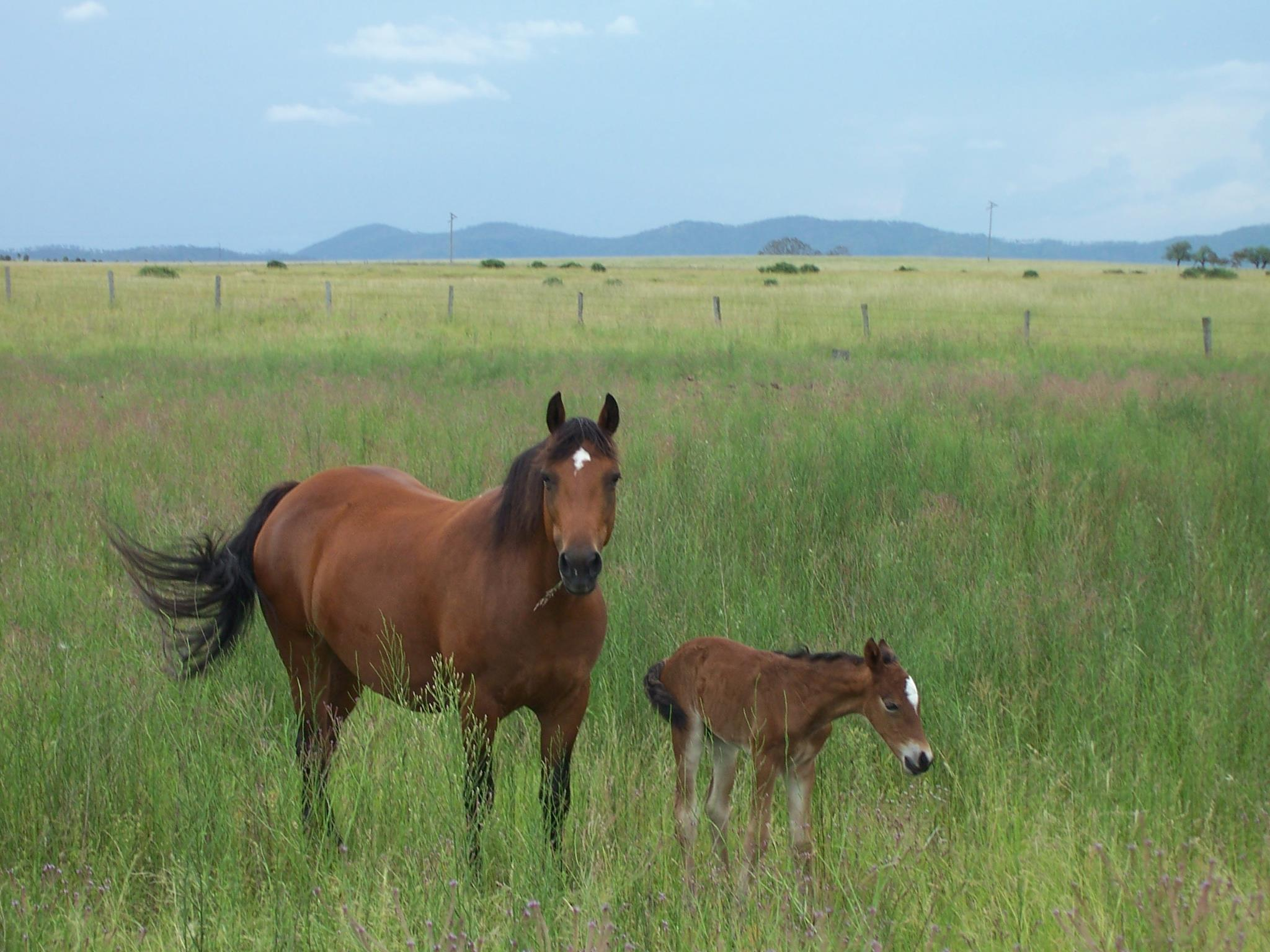 Horses | RARE BREEDS TRUST OF AUSTRALIA | TidyHQ
