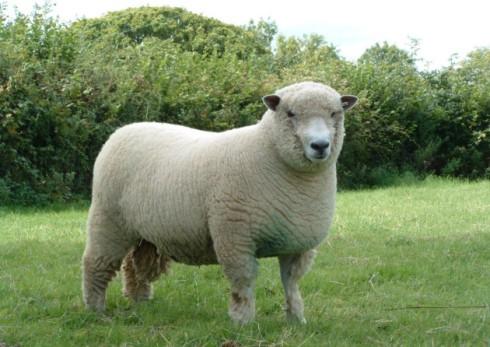 Sheep | RARE BREEDS TRUST OF AUSTRALIA | TidyHQ