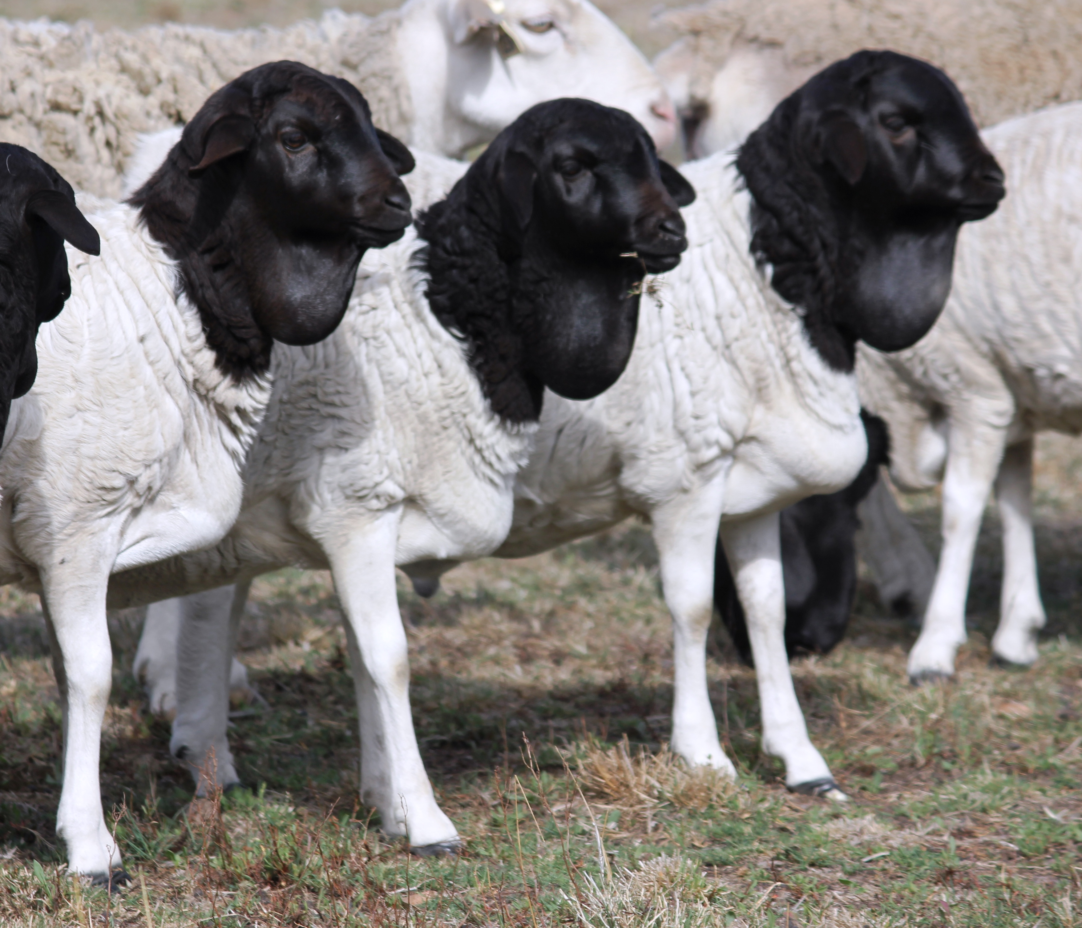 Sheep   RARE BREEDS TRUST OF AUSTRALIA   TidyHQ