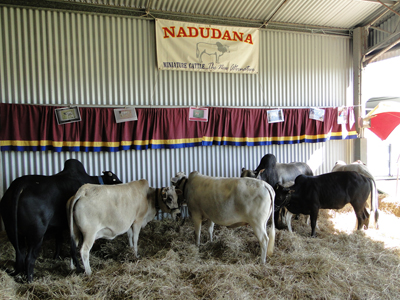 b02b044d3c8 Number in Australia  155 cows
