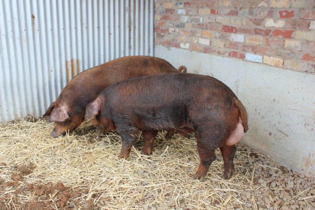 Pigs   RARE BREEDS TRUST OF AUSTRALIA   TidyHQ