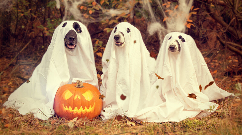 Dogs in ghost halloween costumes 800